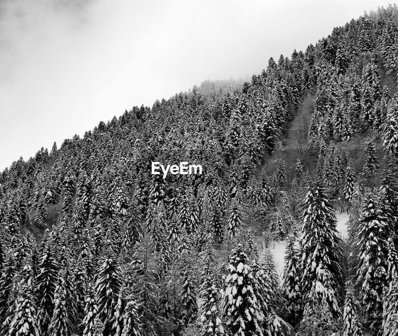 plant, tree, sky, tranquility, beauty in nature, growth, mountain, no people, nature, day, cold temperature, winter, tranquil scene, land, scenics - nature, clear sky, snow, forest, environment, outdoors, pine tree, coniferous tree, mountain peak