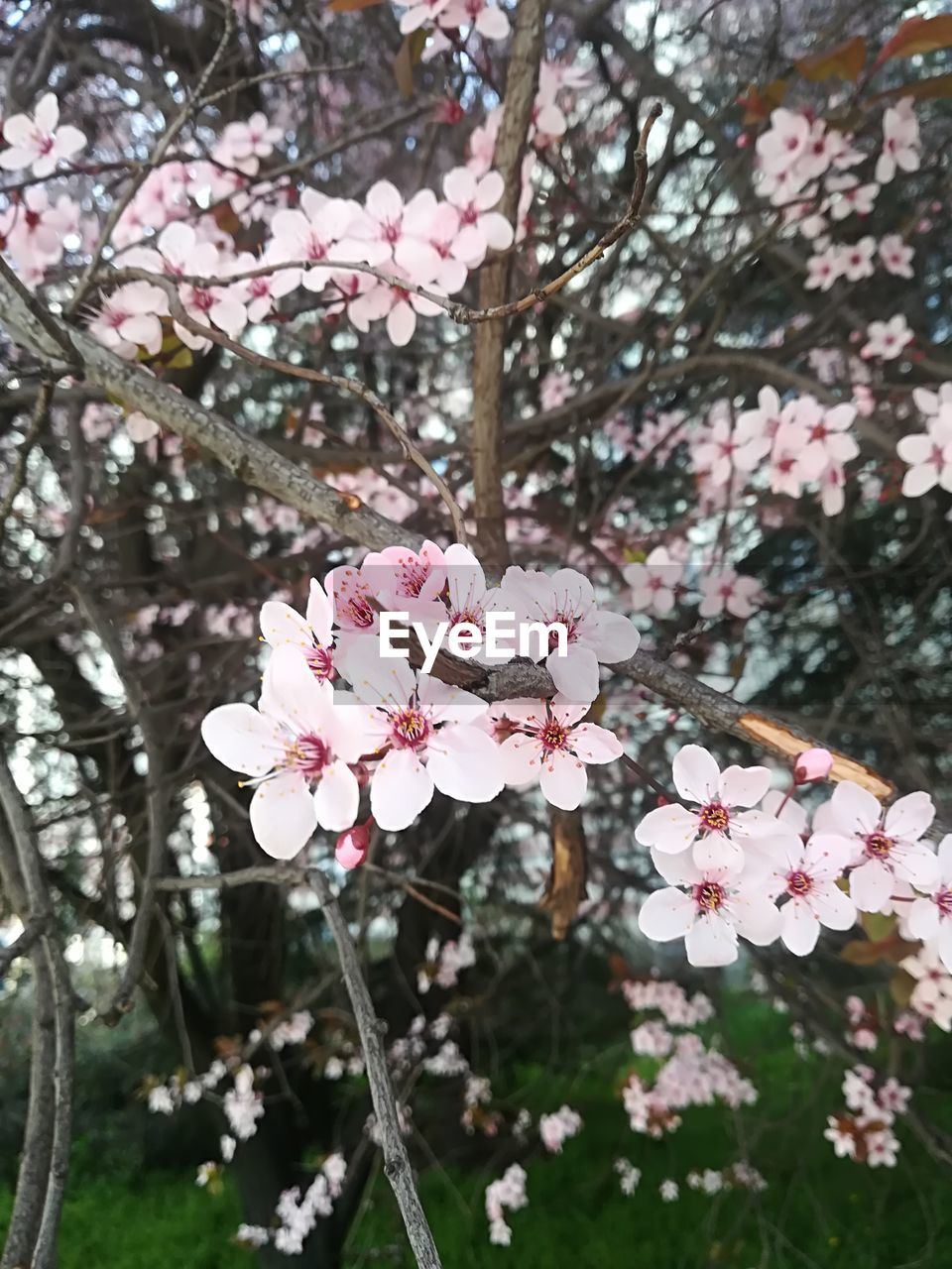 plant, freshness, flowering plant, fragility, vulnerability, flower, tree, beauty in nature, growth, pink color, petal, blossom, close-up, branch, day, cherry blossom, springtime, nature, inflorescence, focus on foreground, flower head, no people, cherry tree, outdoors, pollen, spring