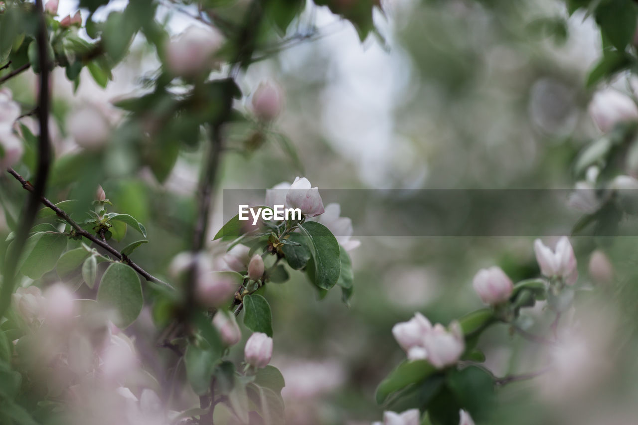 Close-Up Of White Flowers Growing On Tree