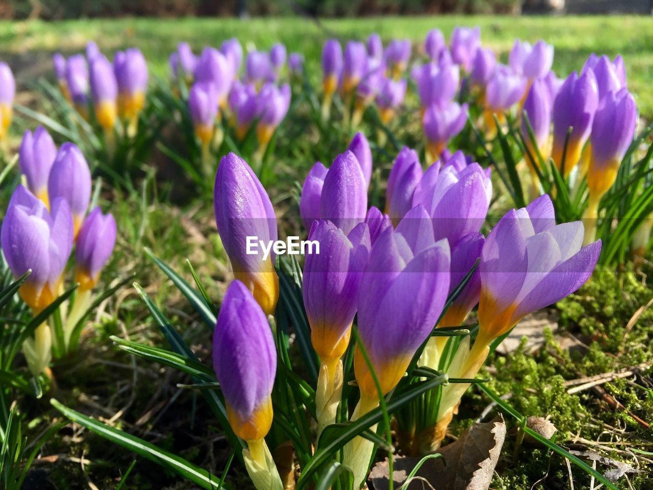 flowering plant, flower, plant, freshness, growth, purple, crocus, beauty in nature, iris, fragility, vulnerability, petal, field, close-up, land, nature, flower head, inflorescence, day, no people, outdoors, springtime, flowerbed