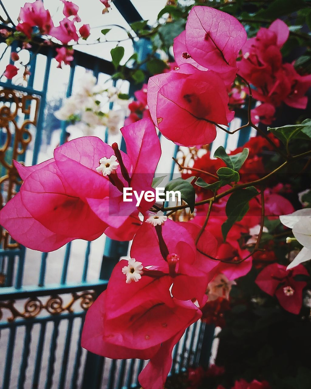 flower, petal, beauty in nature, pink color, growth, fragility, nature, flower head, freshness, no people, day, outdoors, blooming, close-up, focus on foreground, bougainvillea, plant, springtime, tree