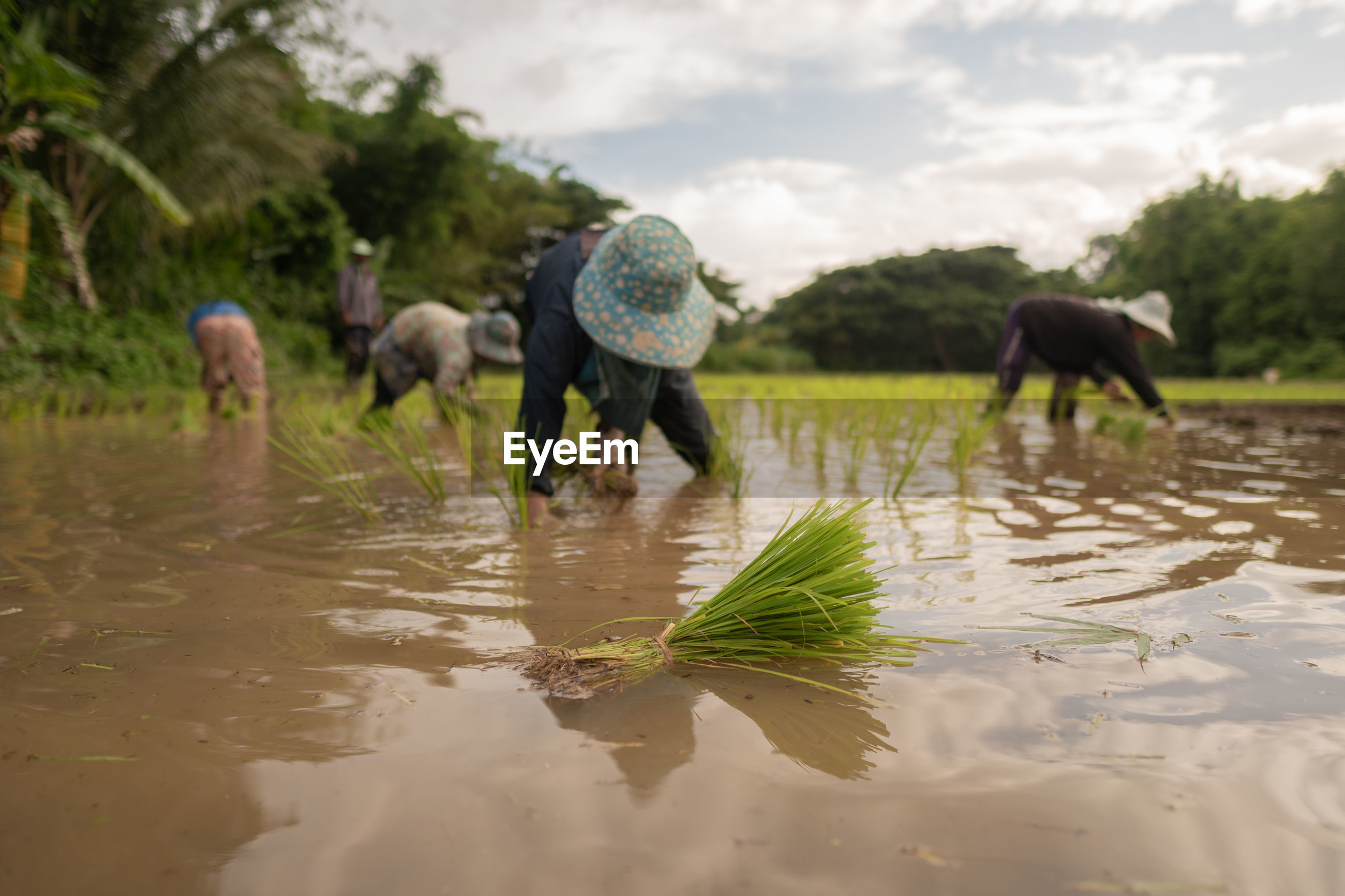 Farmers working in rice paddy at farm against sky