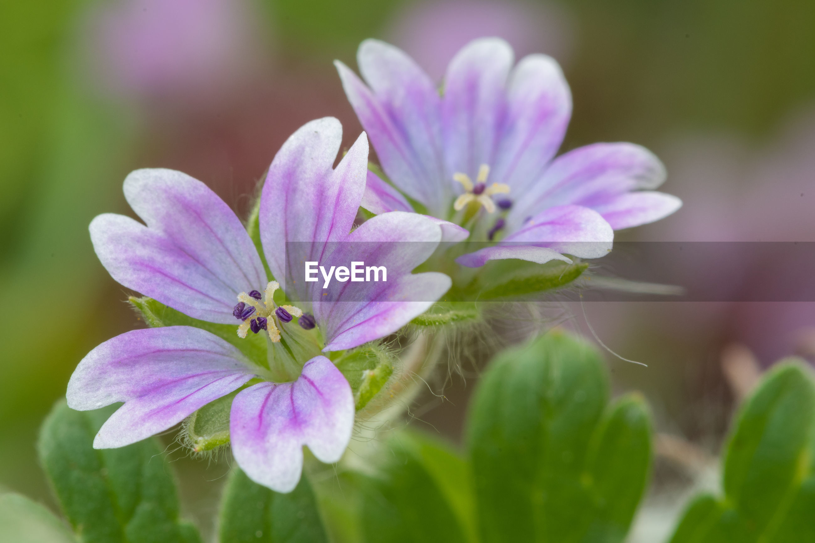 Macro shot of doves foot geranium flowers in bloom
