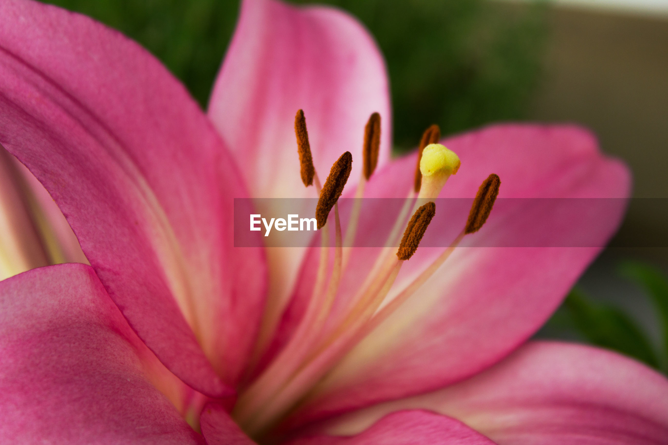 CLOSE-UP OF PINK LILIES