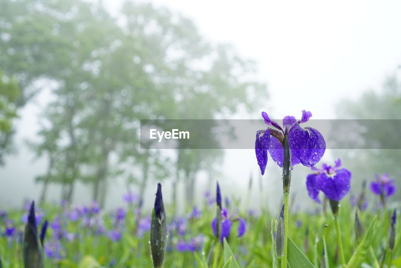 flower, beauty in nature, growth, fragility, nature, petal, purple, freshness, plant, blooming, day, focus on foreground, flower head, no people, field, outdoors, close-up, crocus