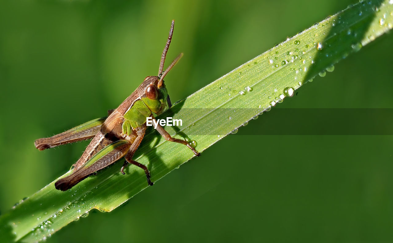 animal themes, insect, green color, animal wildlife, animal, plant part, invertebrate, leaf, one animal, animals in the wild, plant, close-up, nature, focus on foreground, day, no people, zoology, grasshopper, growth, outdoors, blade of grass