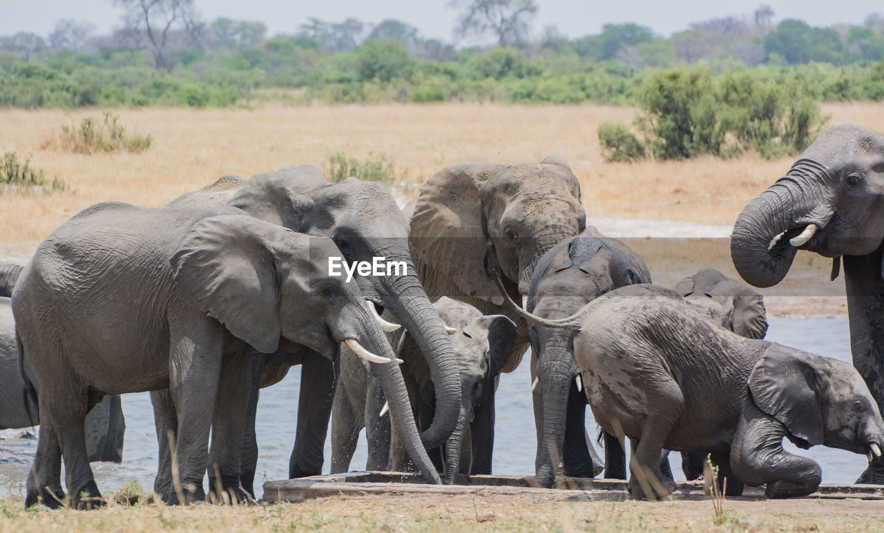 Elephants By River