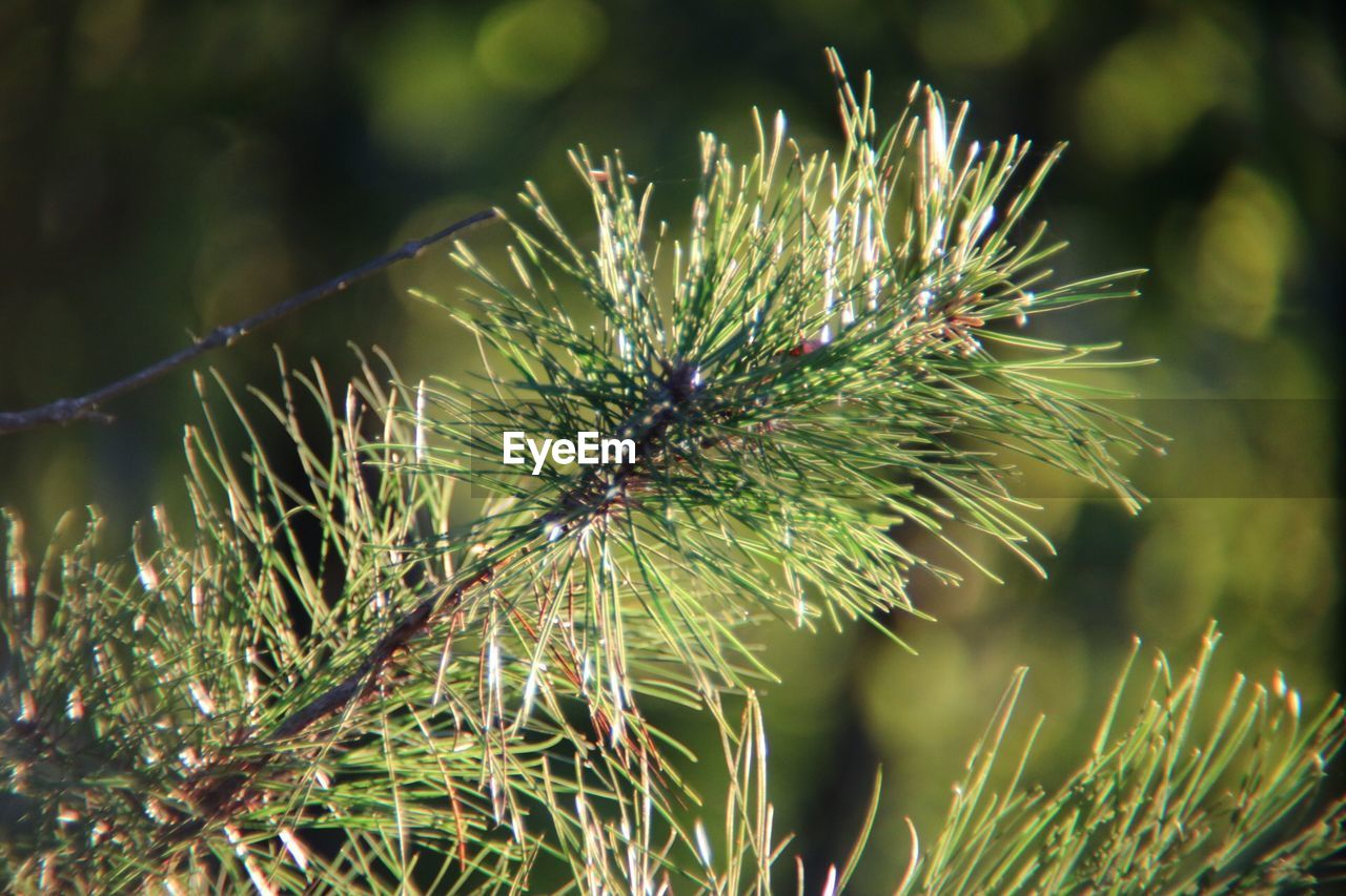 plant, growth, close-up, nature, day, green color, beauty in nature, focus on foreground, no people, spiked, outdoors, selective focus, one animal, thorn, flower, freshness, insect, spiky, sunlight, invertebrate, pine tree, needle - plant part, coniferous tree