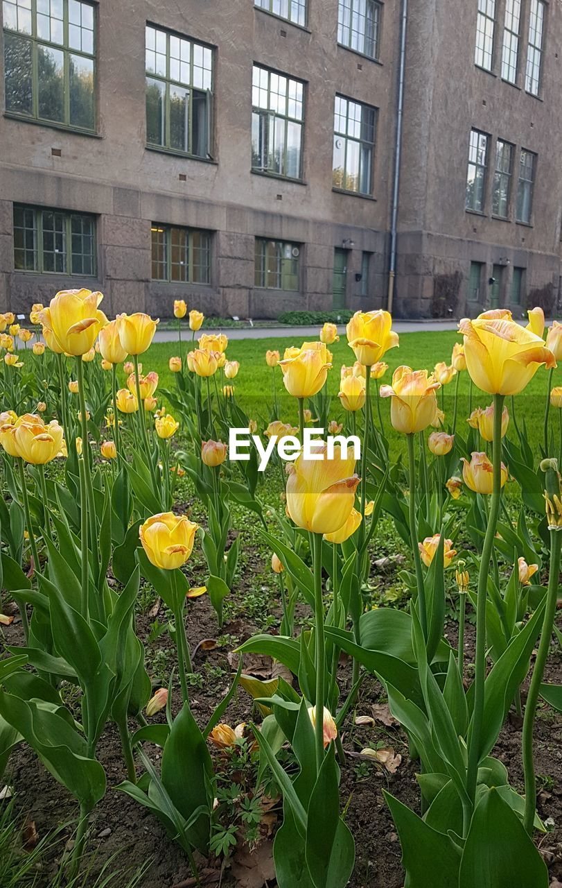 flower, yellow, flowering plant, plant, vulnerability, fragility, architecture, growth, building exterior, freshness, built structure, beauty in nature, nature, day, flower head, no people, petal, inflorescence, close-up, daffodil, outdoors, springtime, flowerbed