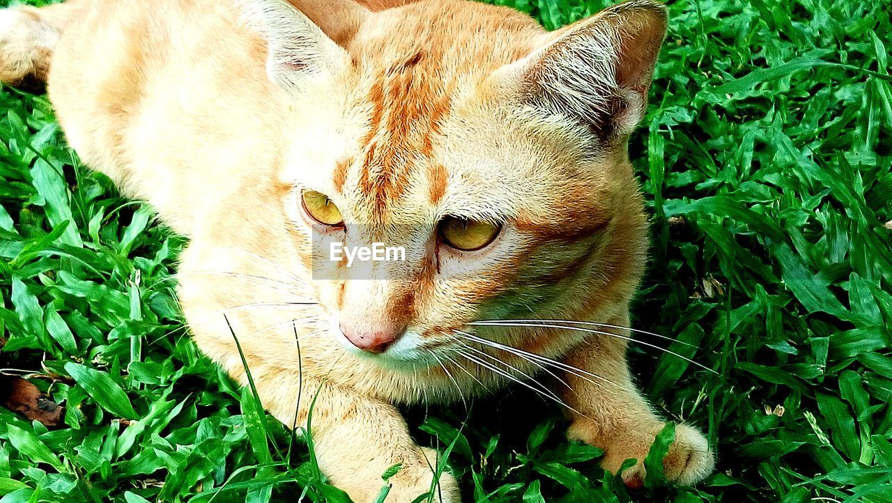 domestic cat, animal themes, feline, one animal, mammal, domestic animals, pets, green color, grass, cat, day, no people, plant, outdoors, nature, close-up, ginger cat, portrait