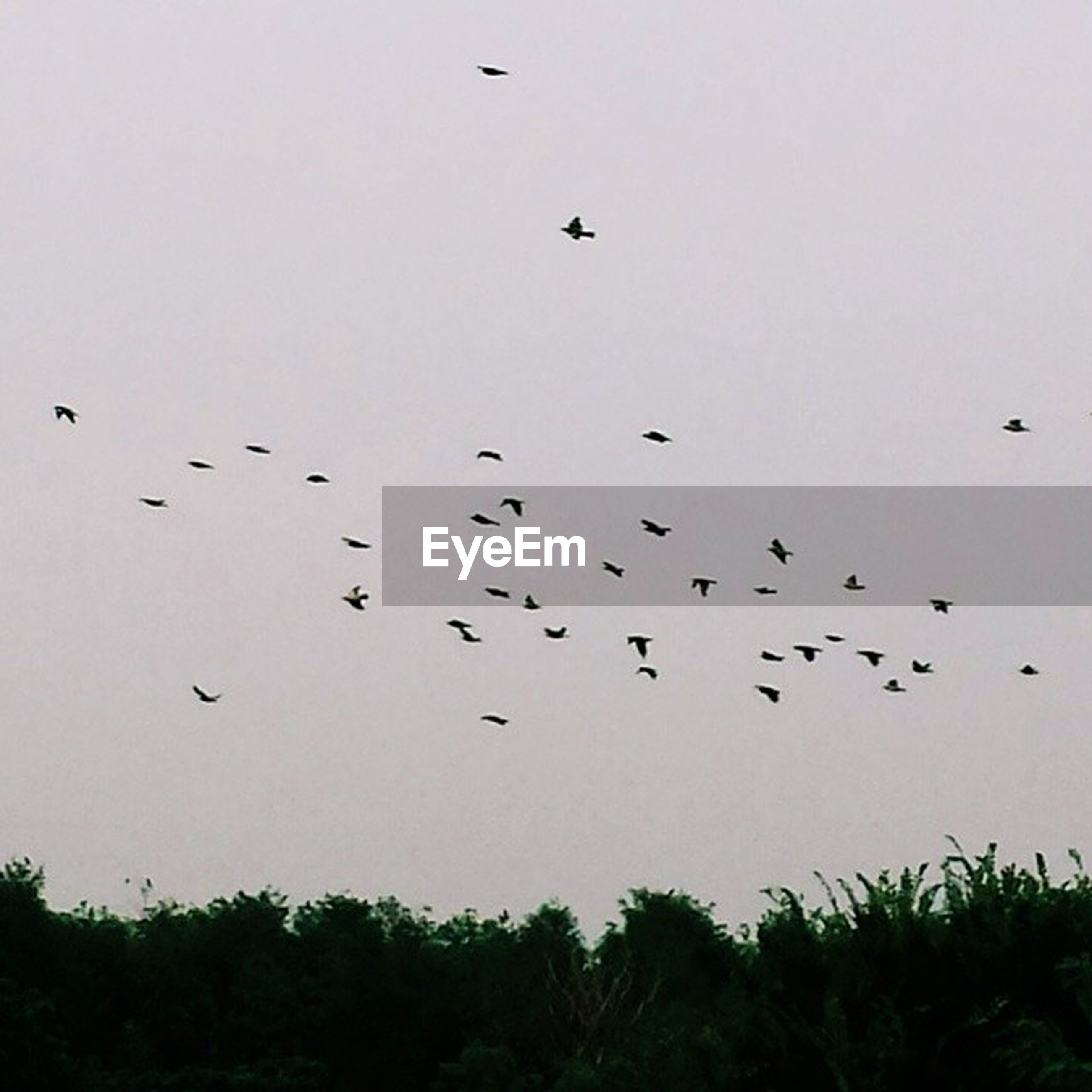 bird, flying, flock of birds, animal themes, animals in the wild, wildlife, clear sky, silhouette, nature, sky, low angle view, tree, copy space, beauty in nature, mid-air, outdoors, tranquility, growth, no people