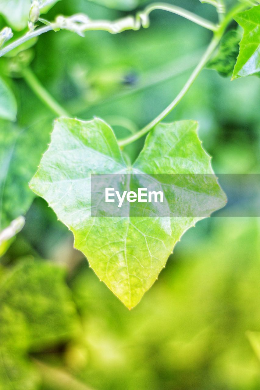 leaf, plant part, green color, close-up, plant, growth, focus on foreground, no people, nature, day, outdoors, beauty in nature, leaf vein, leaves, selective focus, green, freshness, vulnerability, fragility, strength