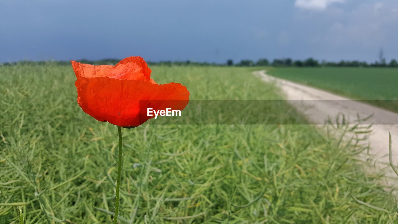 nature, field, flower, beauty in nature, growth, grass, plant, red, petal, green color, no people, outdoors, day, flower head, fragility, rural scene, poppy, sky, close-up, freshness