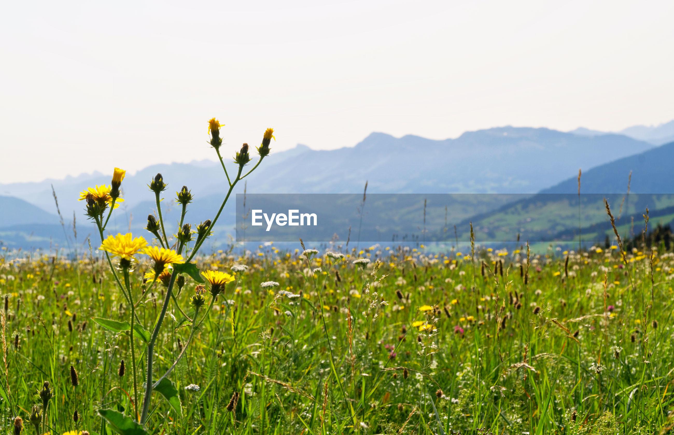YELLOW FLOWERING PLANTS GROWING ON FIELD AGAINST SKY