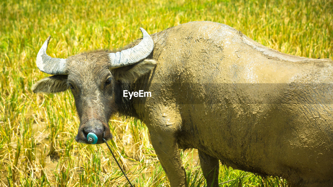 livestock, animal themes, one animal, field, grass, domestic animals, cattle, green color, mammal, no people, outdoors, nature, day