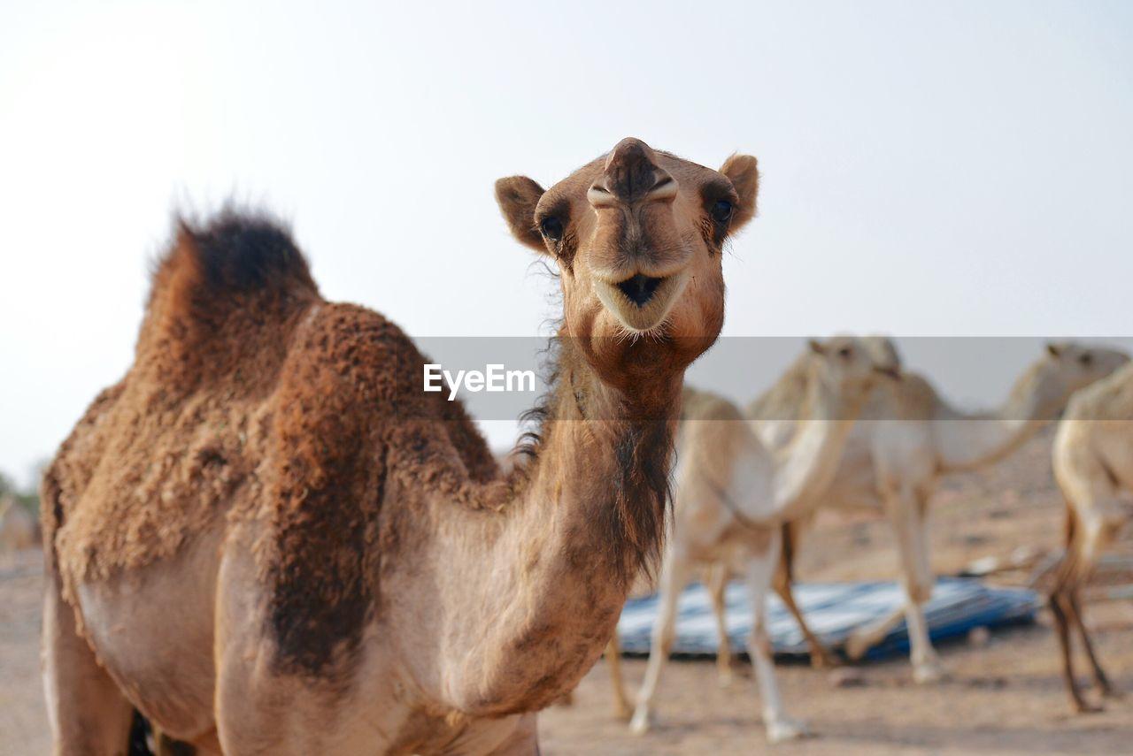 Close-Up Of Camels In Desert