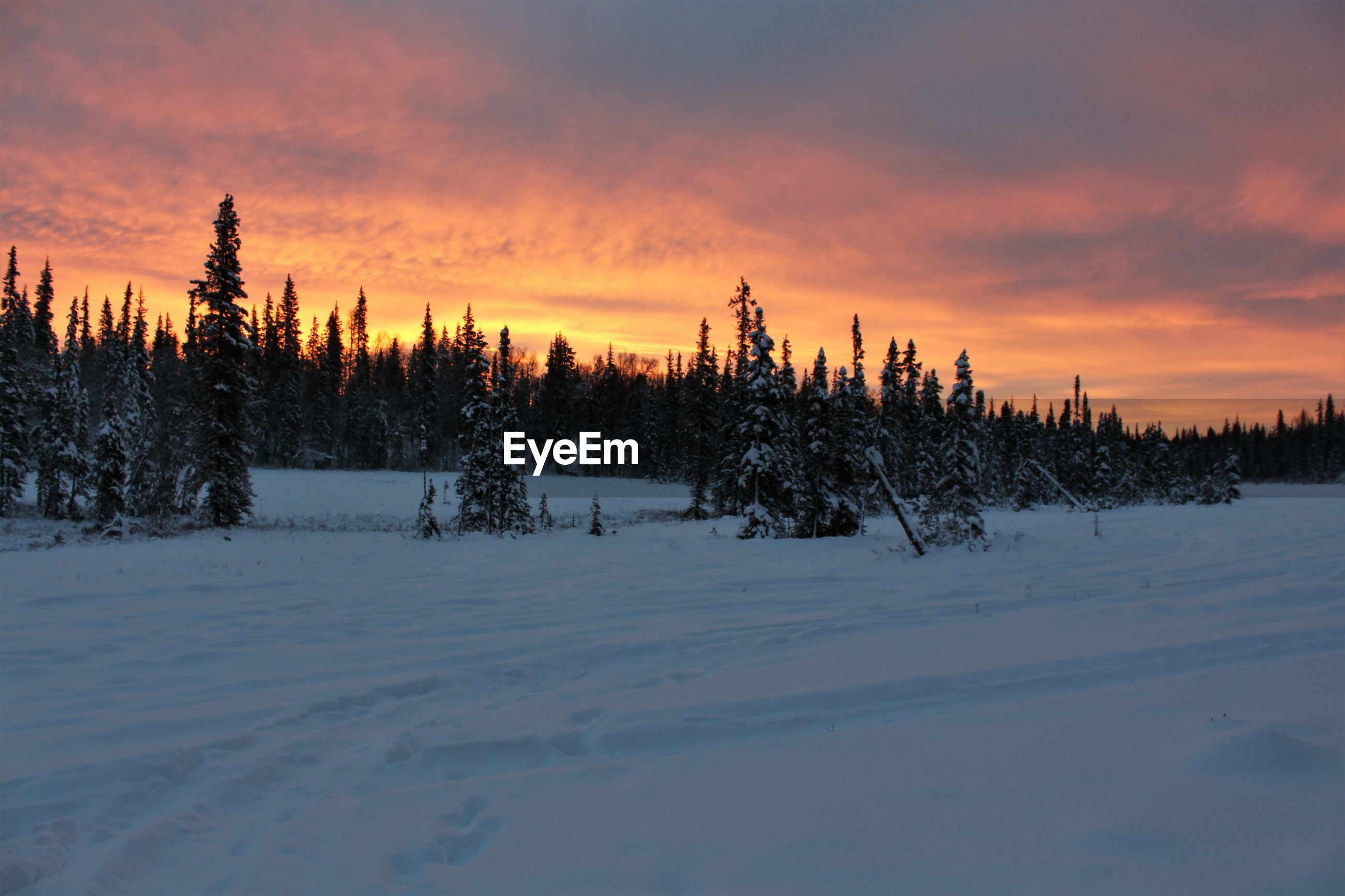 PINE TREES ON SNOW COVERED LAND DURING SUNSET