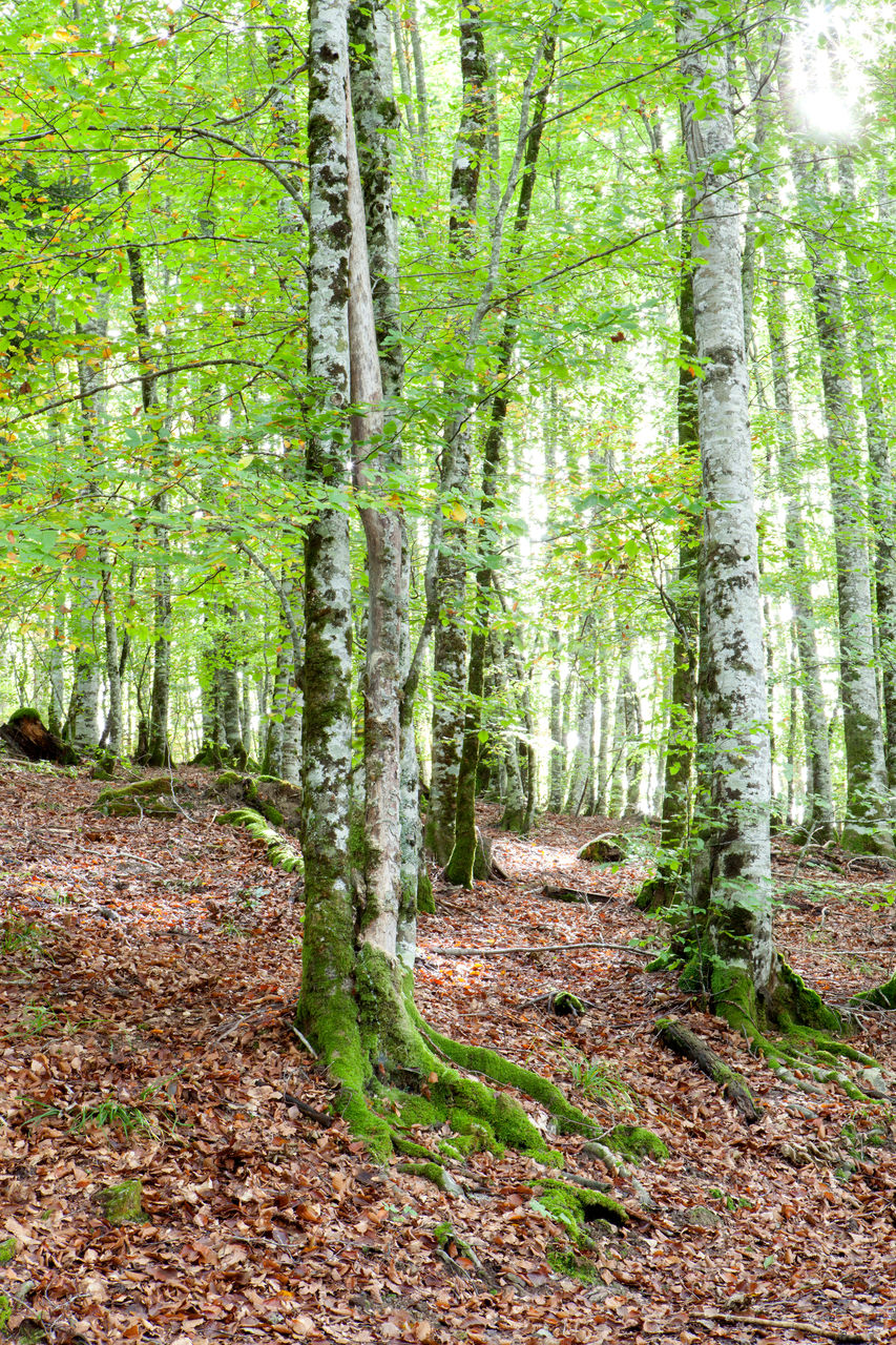 forest, tree, plant, land, woodland, tree trunk, tranquility, trunk, nature, beauty in nature, tranquil scene, no people, day, non-urban scene, scenics - nature, growth, green color, landscape, outdoors, the way forward, trail