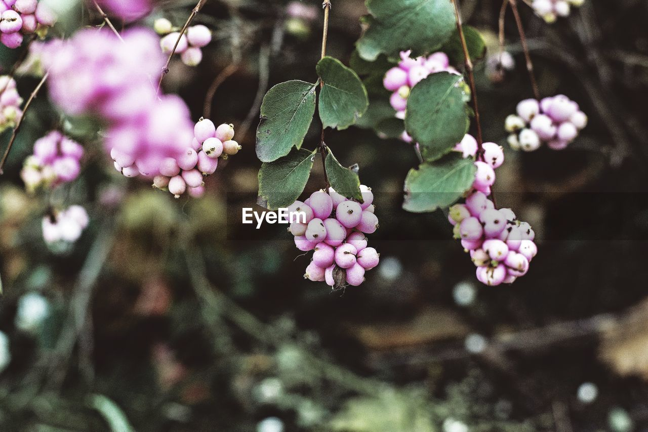 growth, plant, freshness, plant part, leaf, beauty in nature, pink color, close-up, flower, nature, day, tree, focus on foreground, flowering plant, selective focus, no people, fragility, vulnerability, fruit, food and drink, outdoors