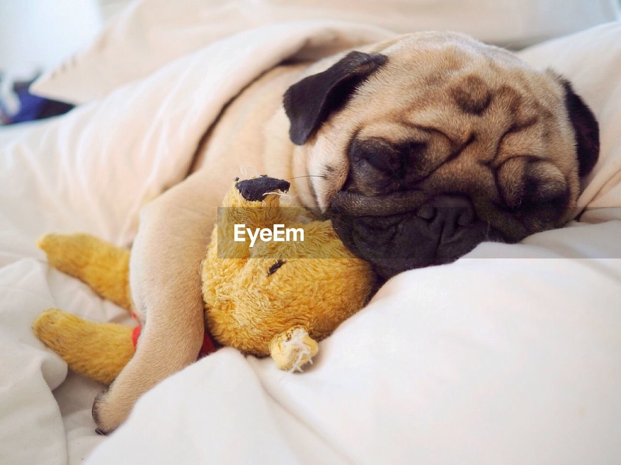 animal themes, canine, dog, mammal, animal, one animal, toy, domestic animals, domestic, pets, furniture, indoors, stuffed toy, relaxation, bed, no people, pug, vertebrate, lap dog, sleeping, teddy bear, small, softness, innocence