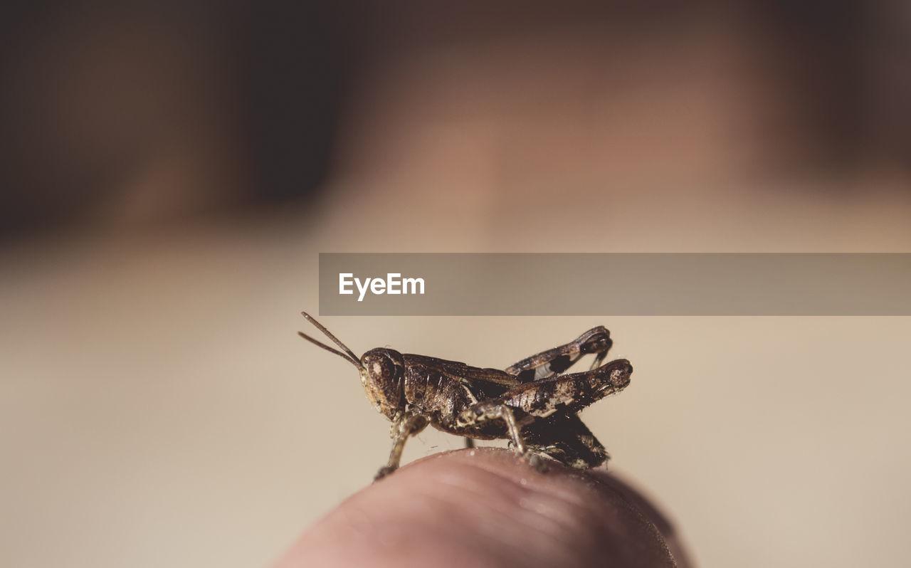 Close-Up Of Grasshopper On Human Finger