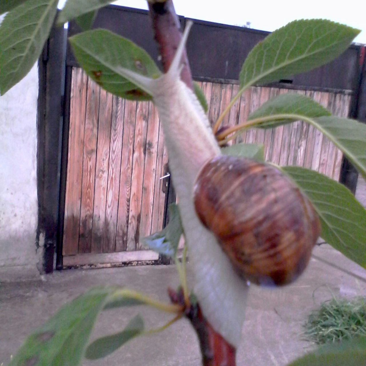 snail, one animal, animal themes, leaf, animals in the wild, day, gastropod, no people, nature, outdoors, close-up