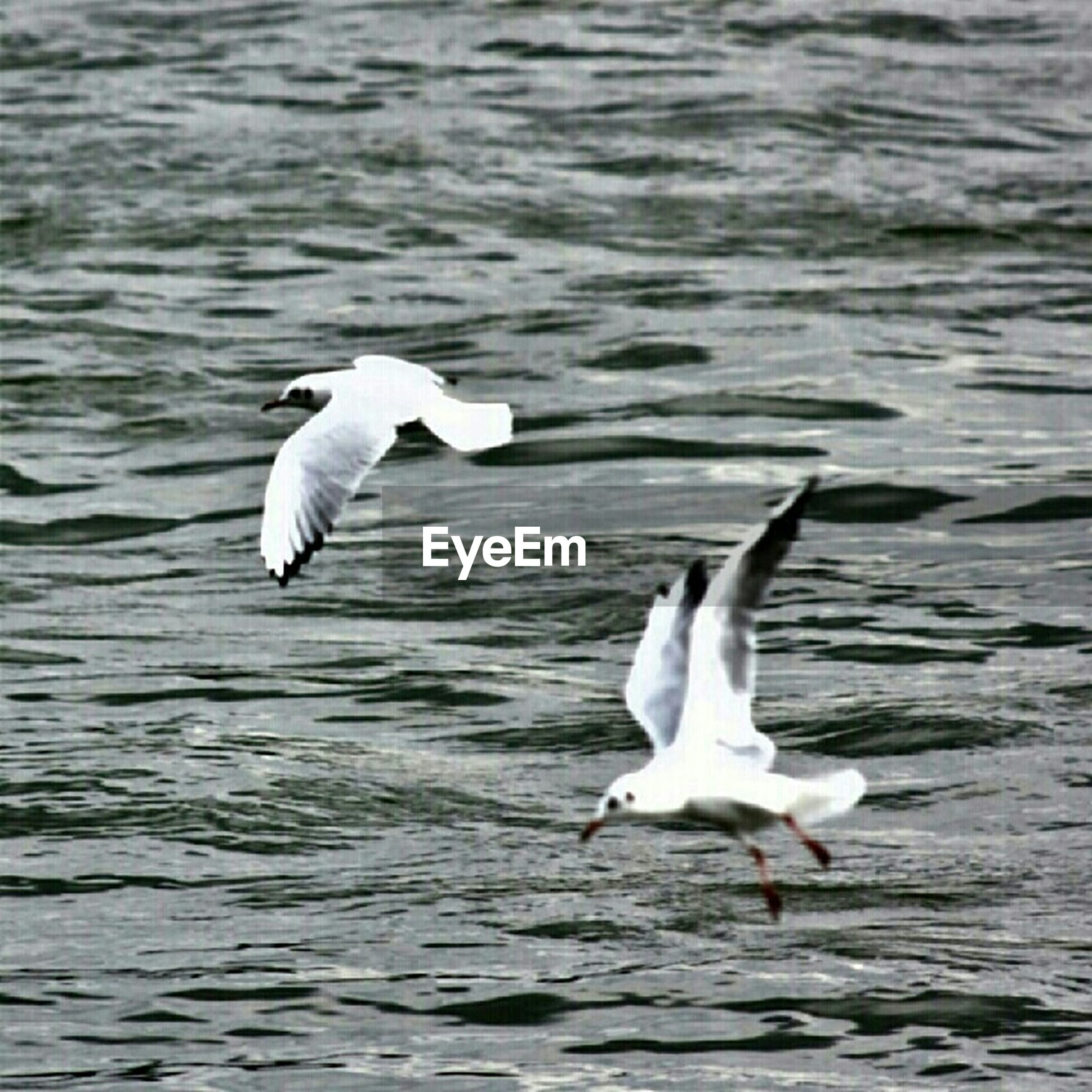 bird, animal themes, animals in the wild, wildlife, water, spread wings, flying, seagull, one animal, waterfront, white color, rippled, nature, sea, animal wing, beauty in nature, mid-air, outdoors, lake, zoology