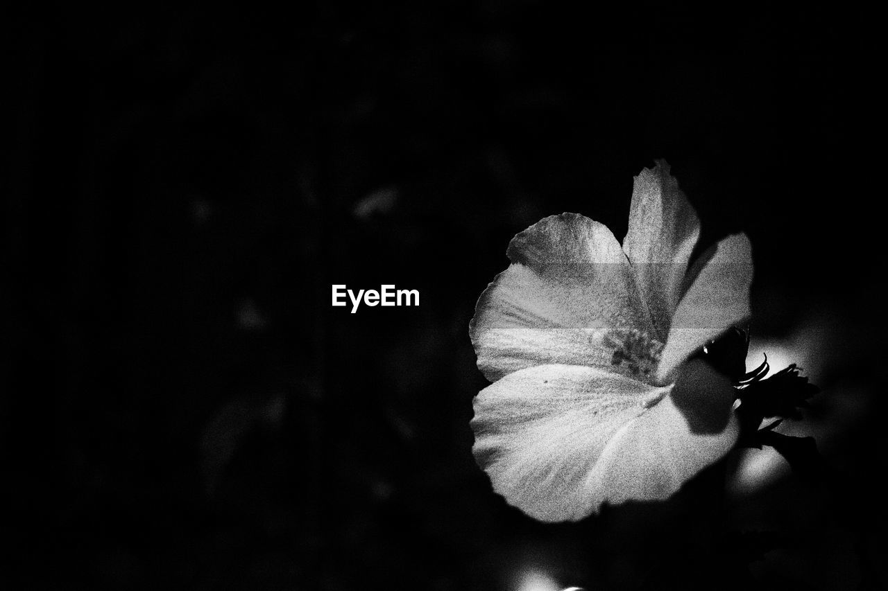 flower, petal, beauty in nature, flower head, fragility, nature, freshness, close-up, plant, growth, no people, blooming, night, outdoors