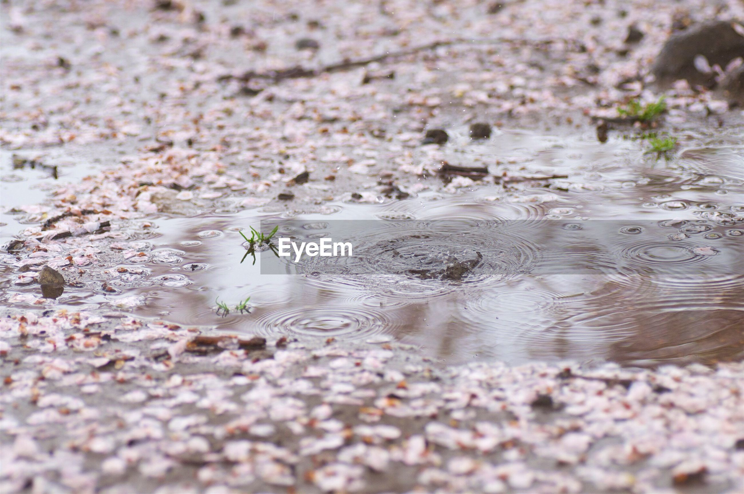 Puddle on field covered with petals