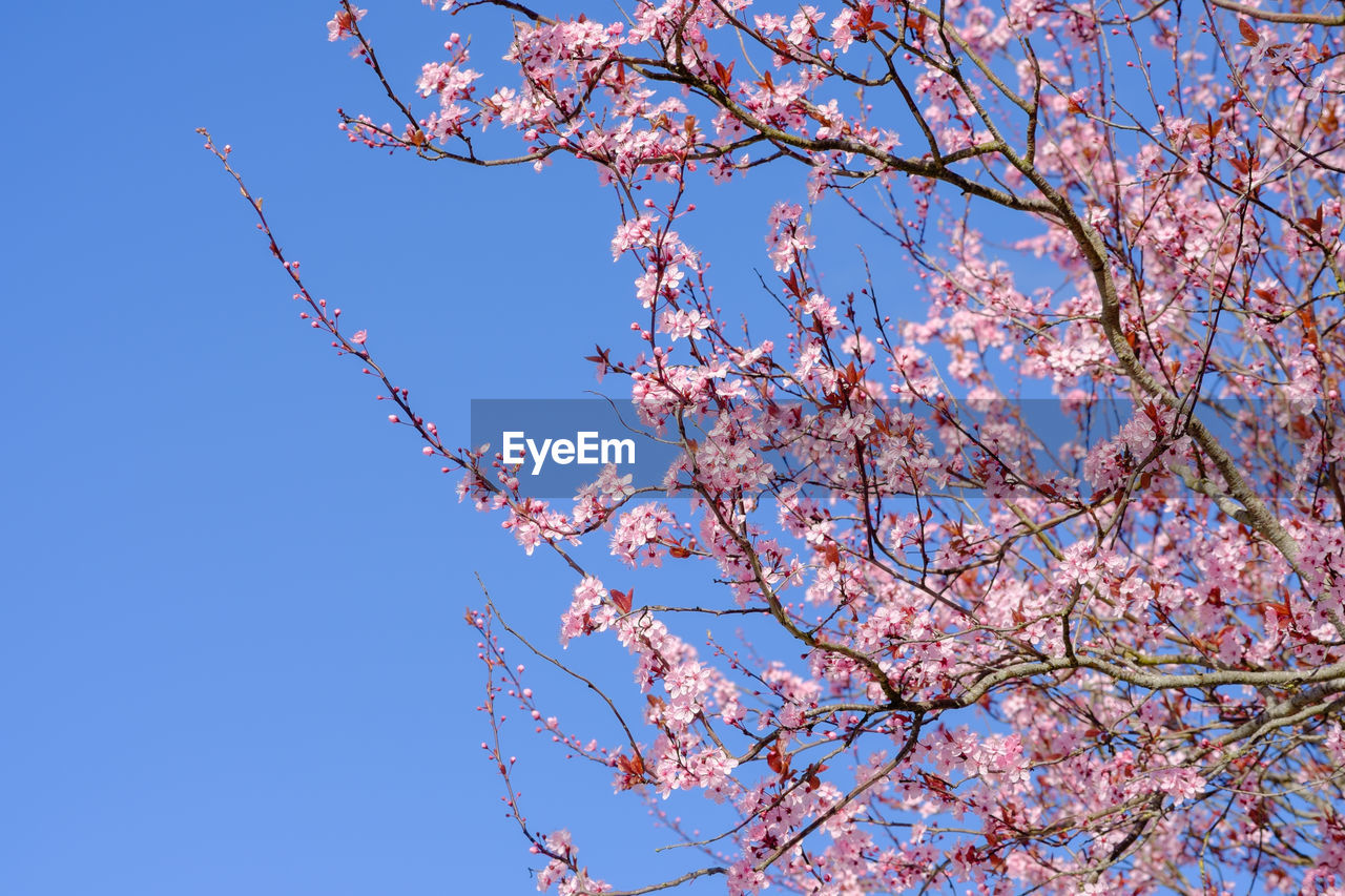 plant, tree, low angle view, sky, branch, flower, beauty in nature, flowering plant, blue, blossom, clear sky, growth, nature, pink color, springtime, day, fragility, no people, freshness, cherry blossom, outdoors, cherry tree, spring