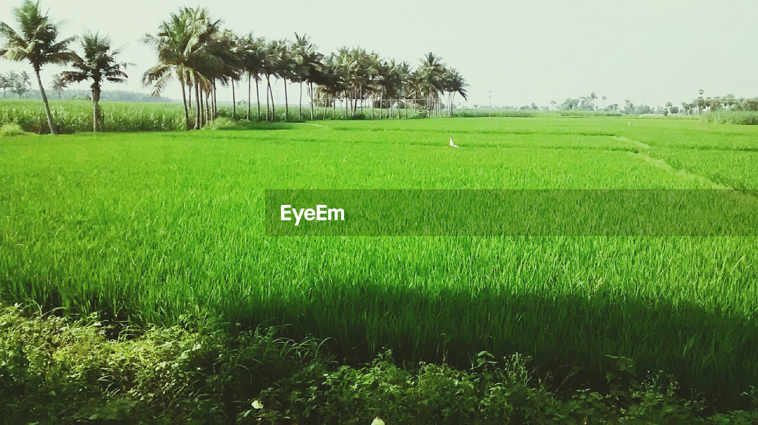 grass, green color, field, growth, tranquility, landscape, tranquil scene, beauty in nature, nature, grassy, tree, clear sky, scenics, rural scene, green, palm tree, agriculture, plant, day, outdoors