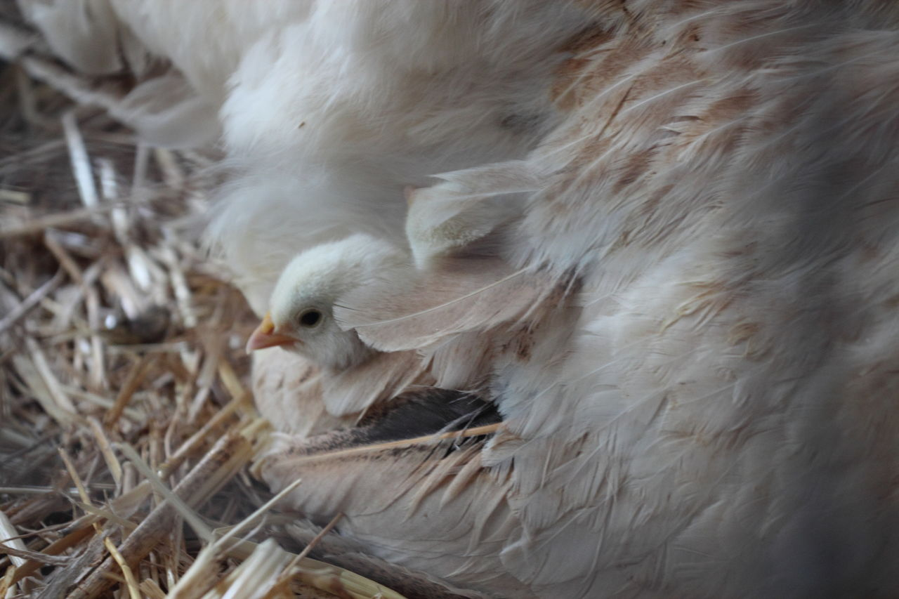 Close-Up Of Baby Chicken With Hen
