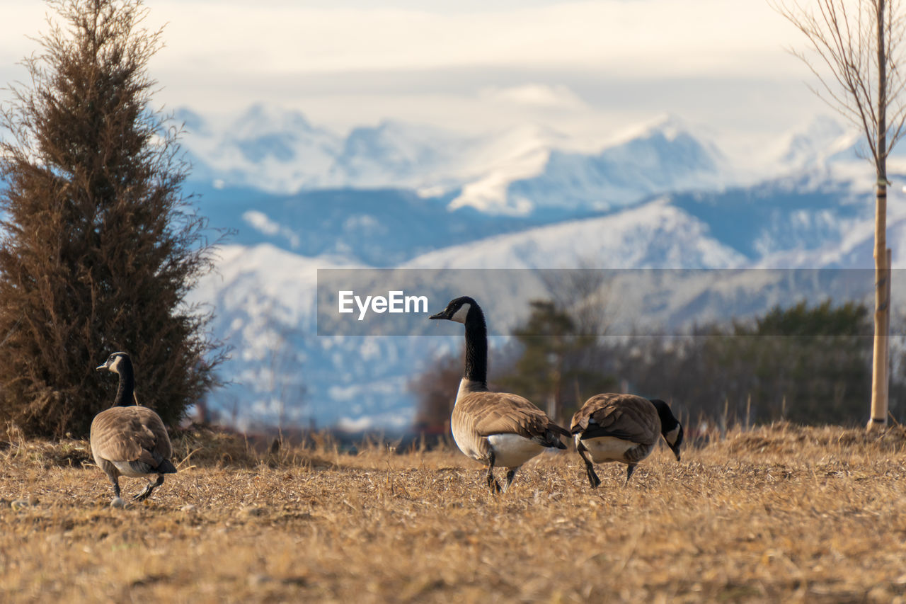 Canada geese walking on grassy field against snowcapped mountain