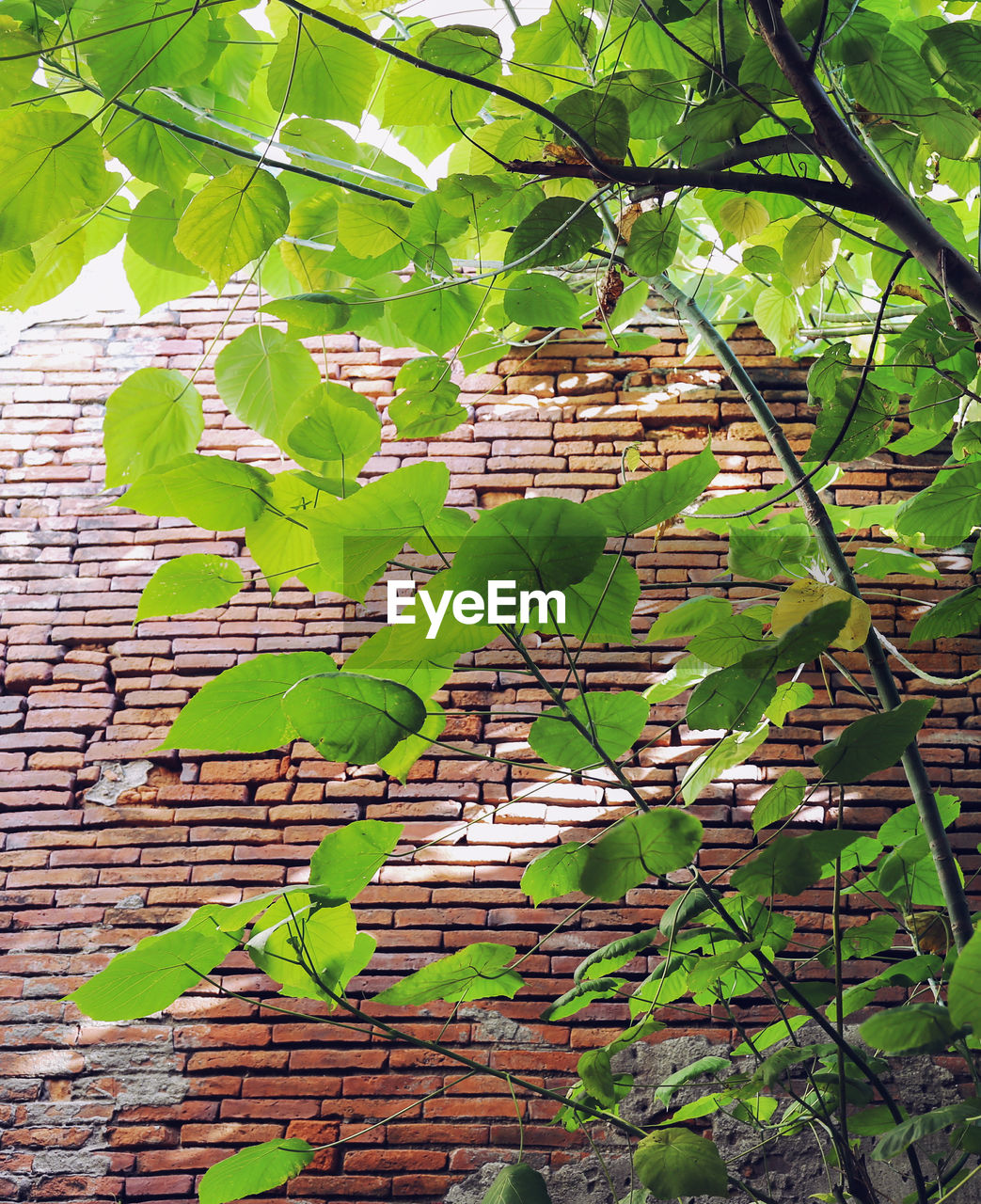 brick wall, leaf, growth, green color, plant, day, no people, outdoors, built structure, ivy, tree, architecture, nature, building exterior, branch, close-up