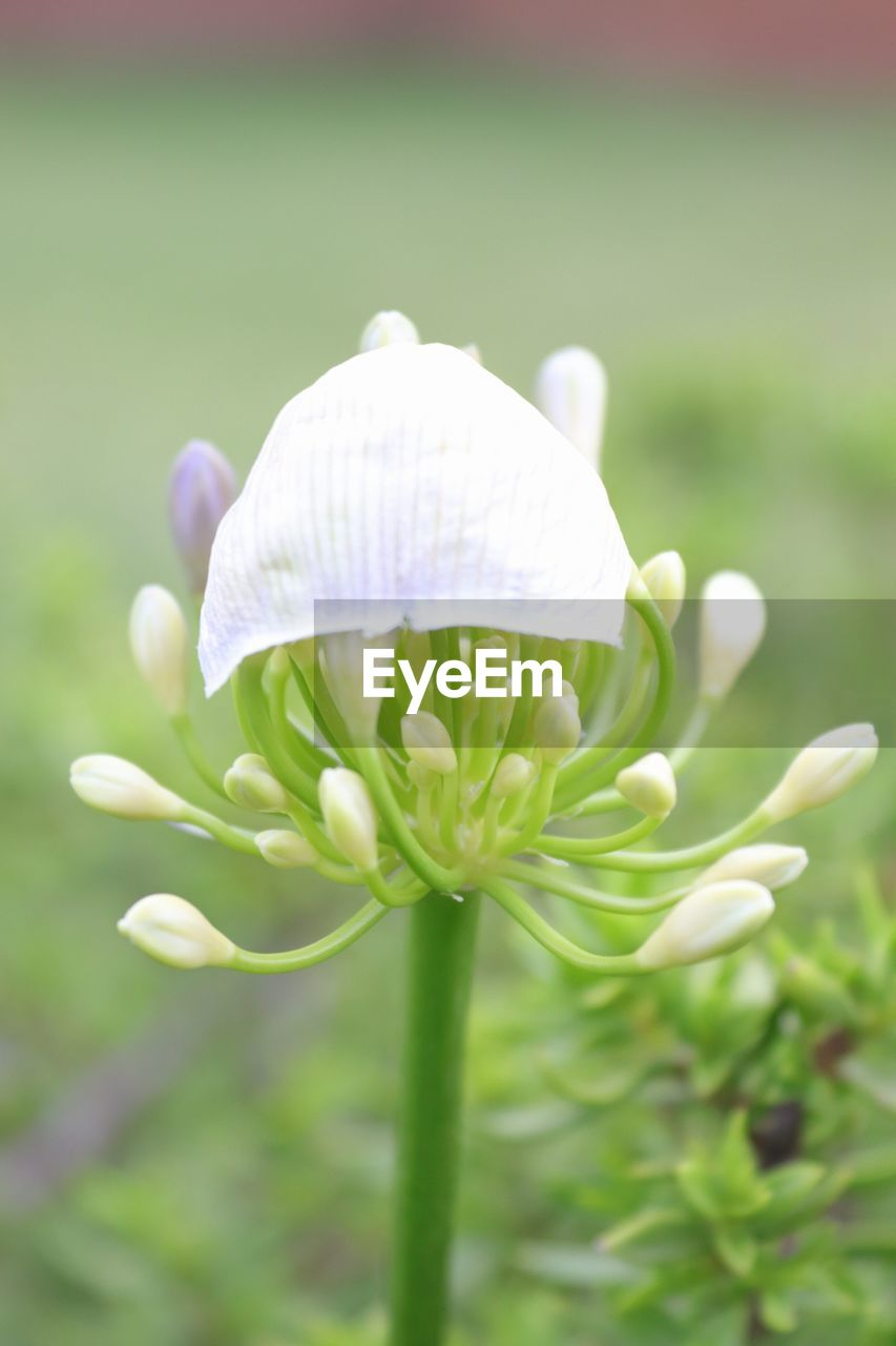 nature, fragility, beauty in nature, growth, flower, freshness, petal, close-up, white color, plant, focus on foreground, flower head, green color, no people, day, outdoors, blooming, snowdrop