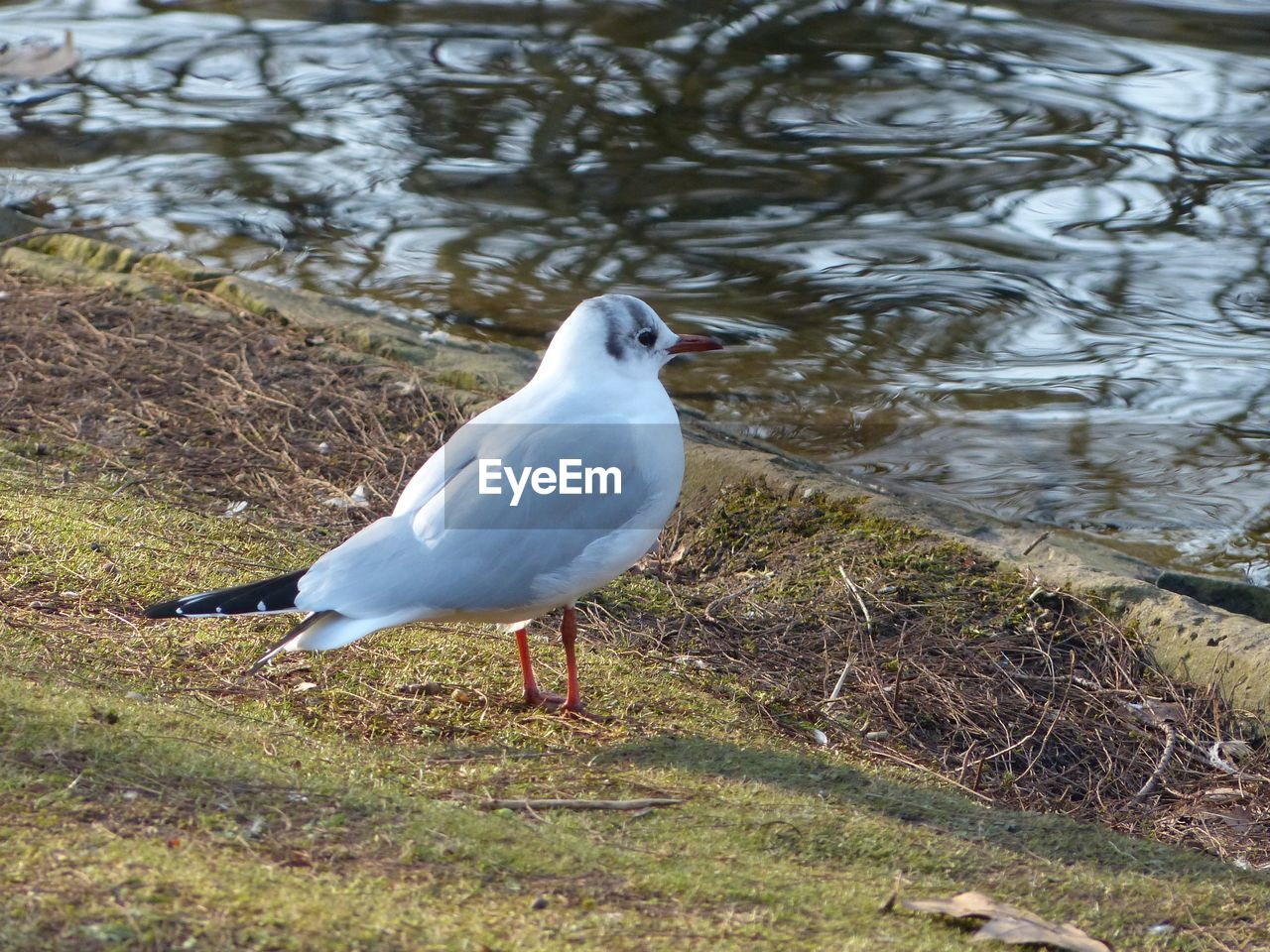 animal themes, bird, one animal, animals in the wild, day, animal wildlife, nature, water, no people, seagull, outdoors, lake, perching, close-up