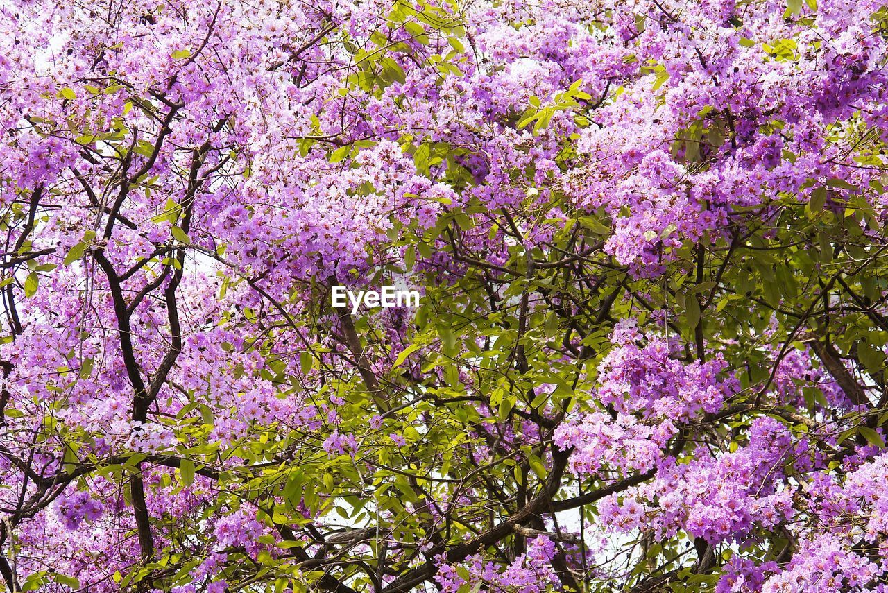 flower, tree, springtime, blossom, branch, pink color, fragility, beauty in nature, growth, freshness, nature, no people, day, backgrounds, scented, outdoors, low angle view, full frame, close-up, flower head