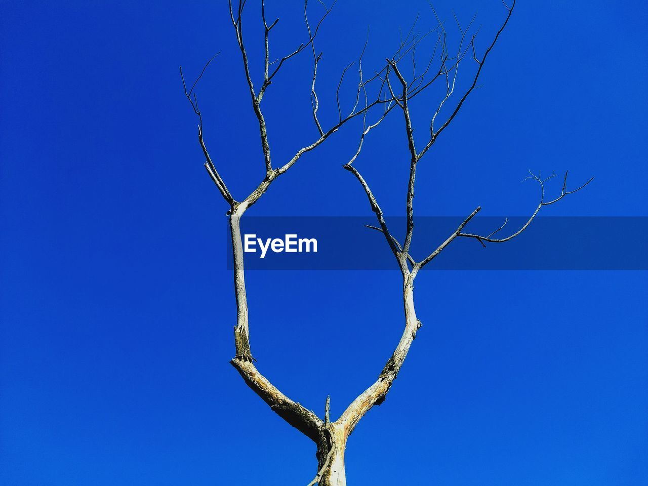 blue, bare tree, tree, sky, branch, no people, low angle view, nature, clear sky, plant, day, tranquility, beauty in nature, dead plant, outdoors, scenics - nature, sunlight, copy space, trunk, tree trunk