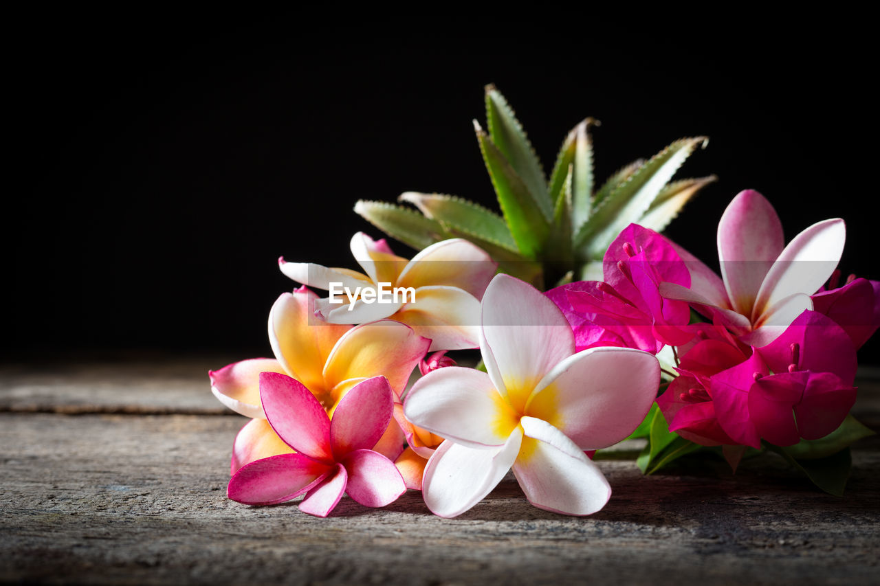 CLOSE-UP OF PINK FRANGIPANI AGAINST BLACK BACKGROUND