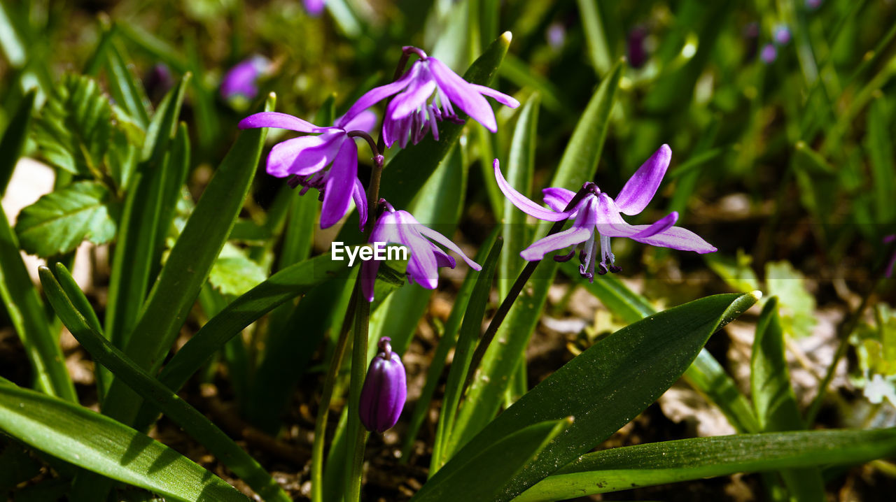 flower, plant, flowering plant, vulnerability, beauty in nature, fragility, purple, petal, freshness, growth, close-up, flower head, inflorescence, nature, no people, green color, plant part, day, leaf, selective focus, outdoors