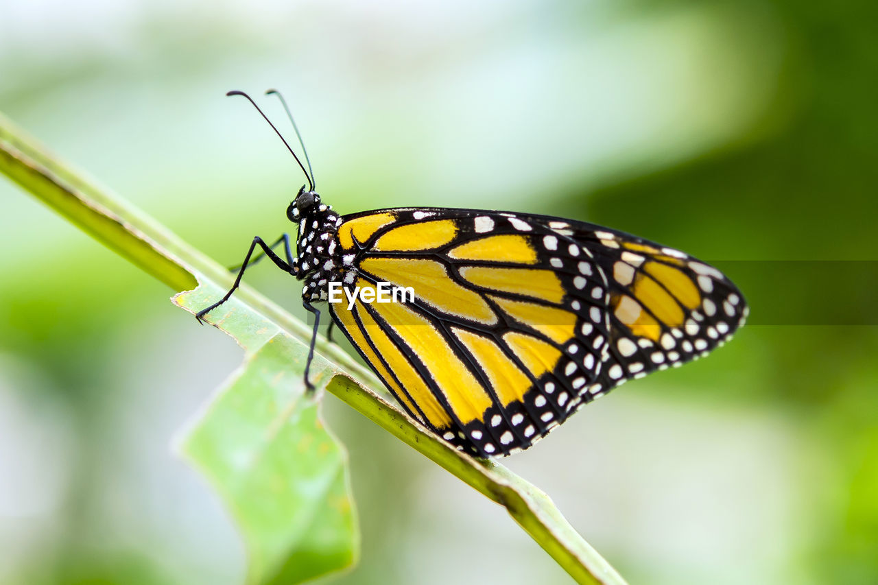insect, animals in the wild, animal themes, one animal, close-up, butterfly - insect, nature, focus on foreground, no people, animal wildlife, leaf, yellow, day, outdoors, beauty in nature, fragility, freshness