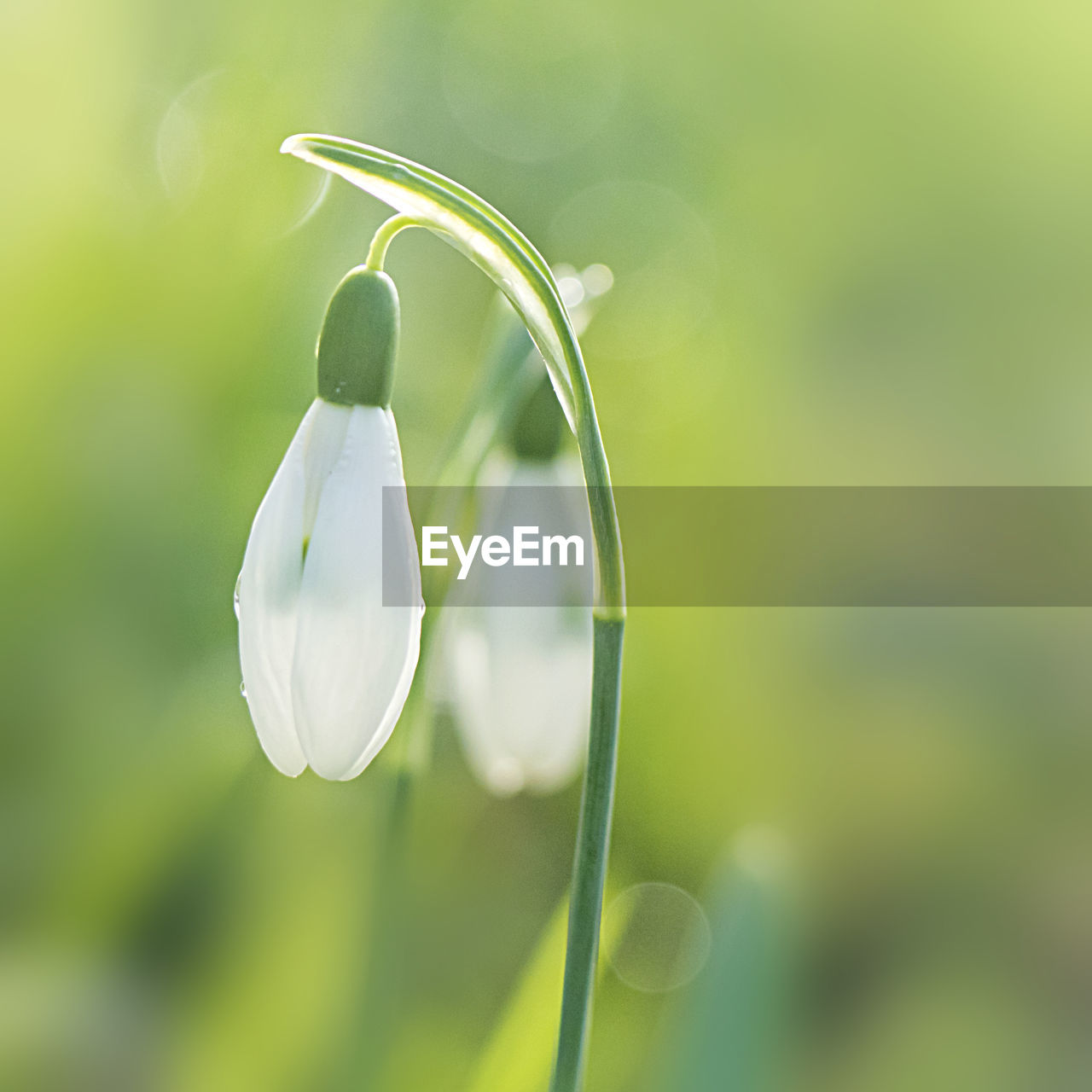 Close-up of snowdrop flowers blooming in park