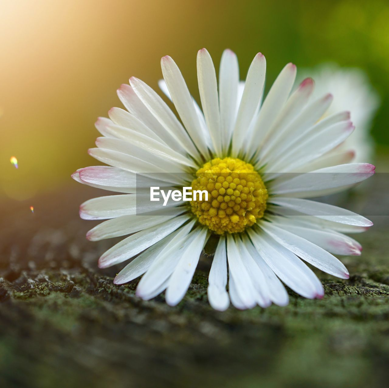 flower, flowering plant, plant, vulnerability, fragility, freshness, petal, close-up, beauty in nature, growth, inflorescence, flower head, selective focus, nature, white color, no people, pollen, daisy, yellow, purple