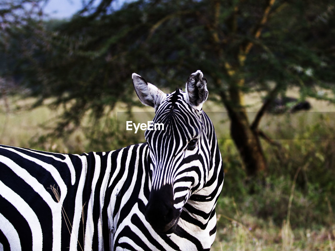 striped, animal wildlife, animal themes, zebra, animals in the wild, animal, mammal, one animal, vertebrate, focus on foreground, animal markings, no people, plant, nature, land, tree, safari, day, domestic animals, herbivorous, outdoors, animal head