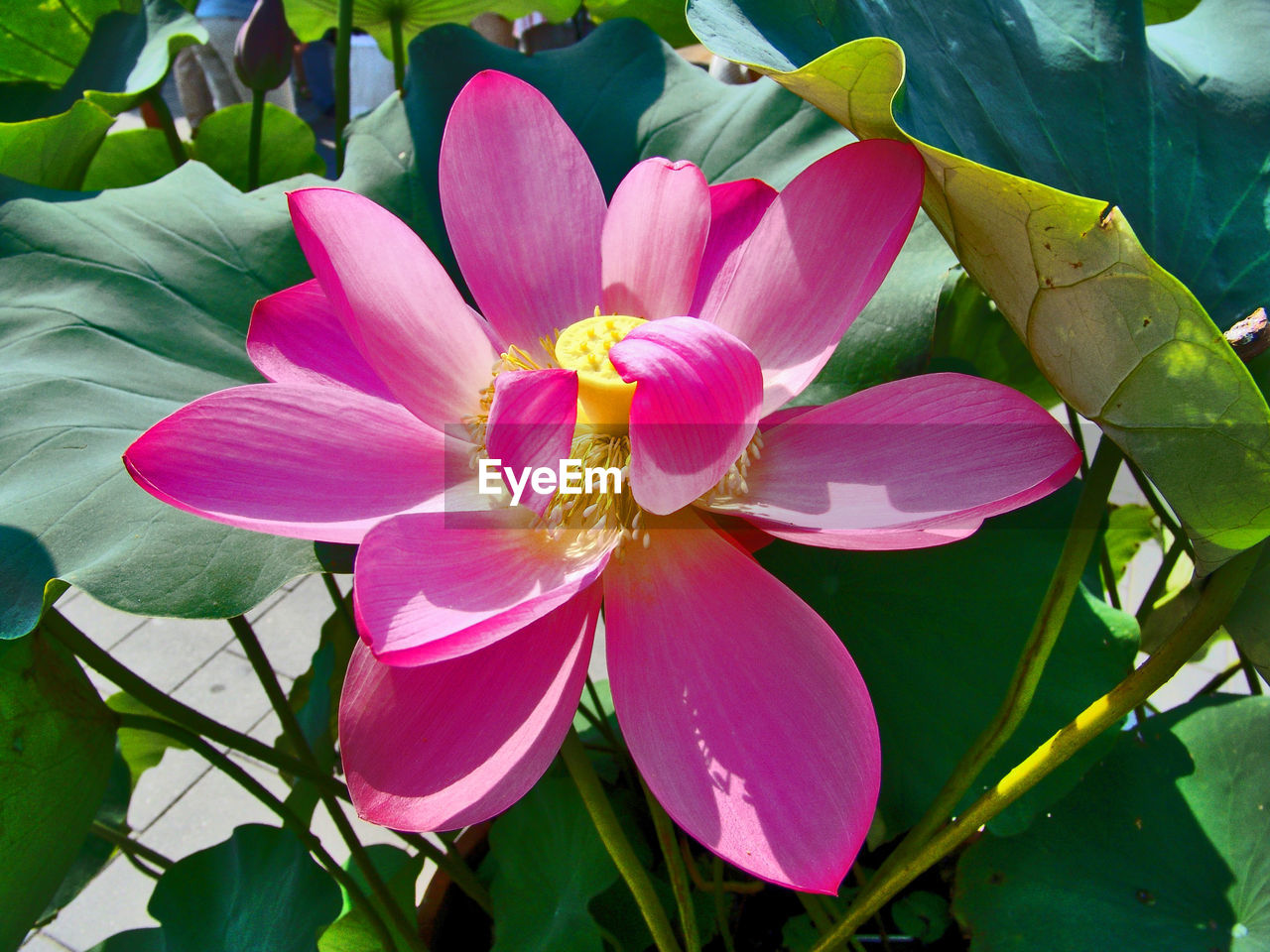 flower, petal, beauty in nature, fragility, leaf, growth, nature, freshness, flower head, no people, pink color, plant, day, outdoors, lotus water lily, lotus, blooming, close-up, water