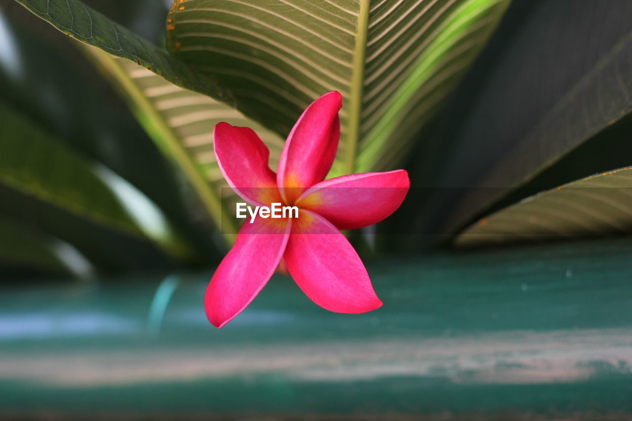 beauty in nature, flower, growth, leaf, nature, fragility, petal, flower head, freshness, day, pink color, green color, plant, close-up, frangipani, outdoors, blooming, no people, water, periwinkle