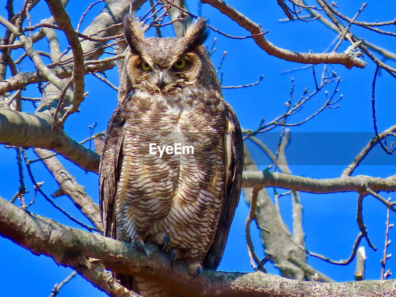 branch, tree, animal themes, animal, low angle view, vertebrate, animal wildlife, bird, one animal, animals in the wild, plant, perching, sky, nature, bird of prey, day, no people, bare tree, clear sky, blue, outdoors, eagle