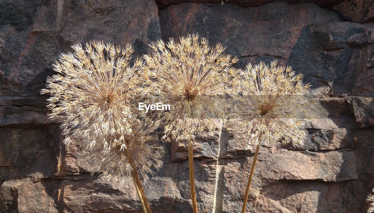 no people, day, nature, plant, flower, close-up, flowering plant, outdoors, fragility, vulnerability, sunlight, solid, dry, rock, freshness, growth, rock - object, beauty in nature, directly above, built structure, dried, spiky