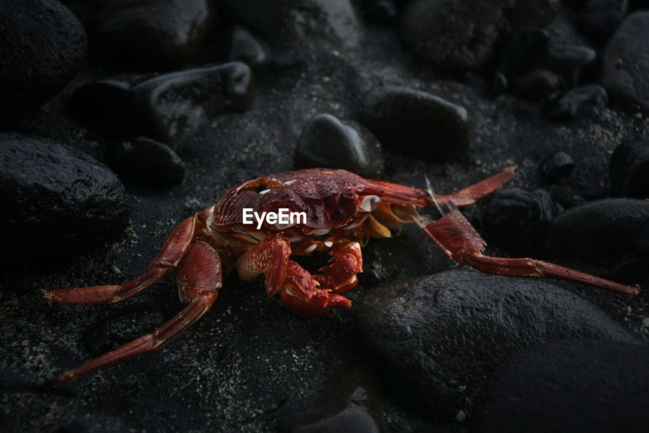 Dead Red Crab On Rocks