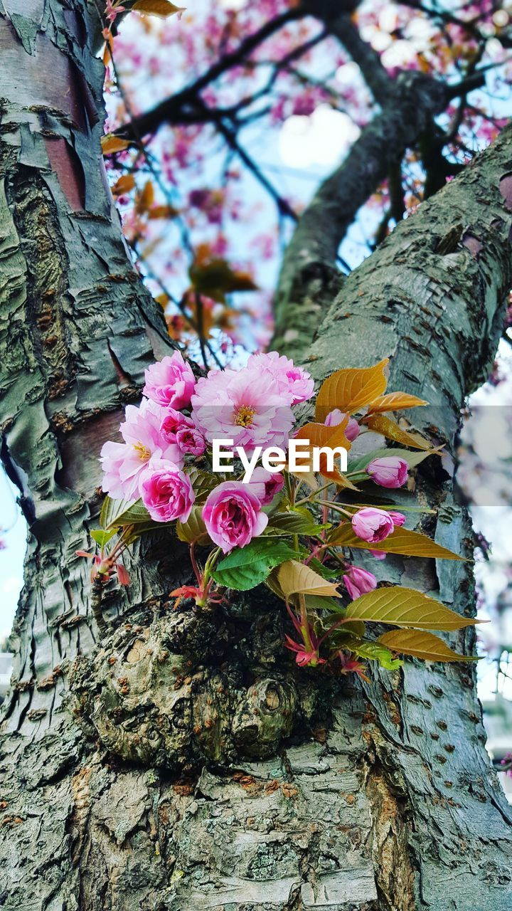 flower, petal, fragility, beauty in nature, tree, nature, growth, pink color, tree trunk, branch, day, freshness, outdoors, close-up, leaf, blossom, no people, flower head, low angle view, blooming